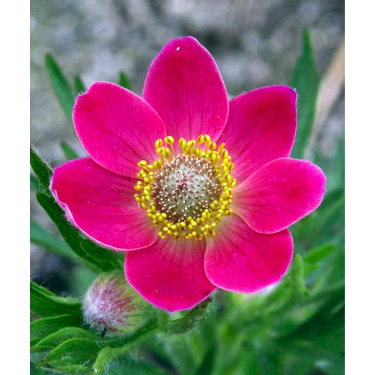 Anemone 'Rubra'