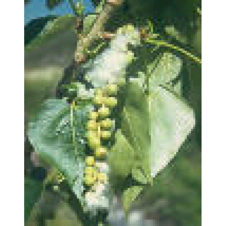 Vestamerikansk Balsampoppel 'O.P.42'