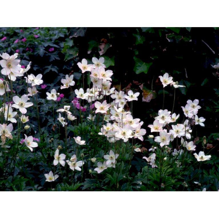 Sommer Anemone