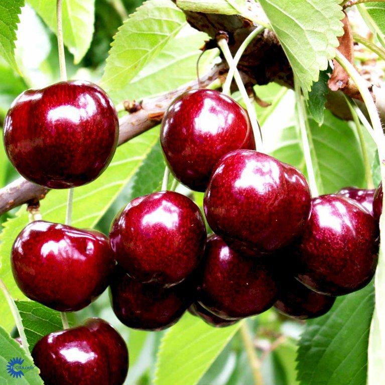 Sødkirsebær 'Skeena'