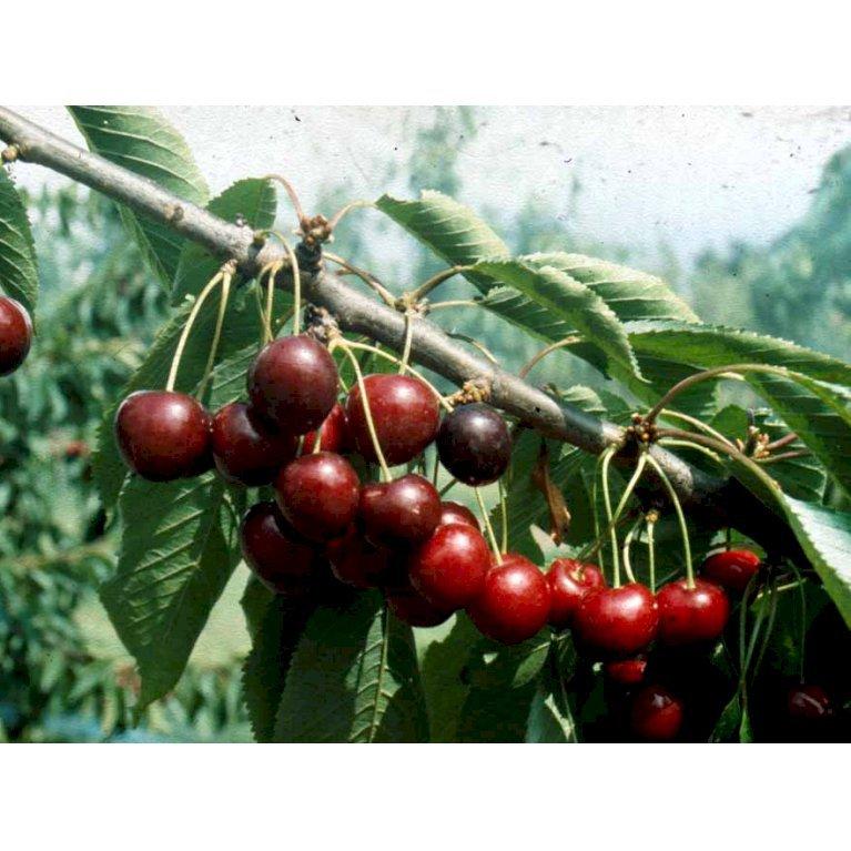 Sød Kirsebær 'Stella'