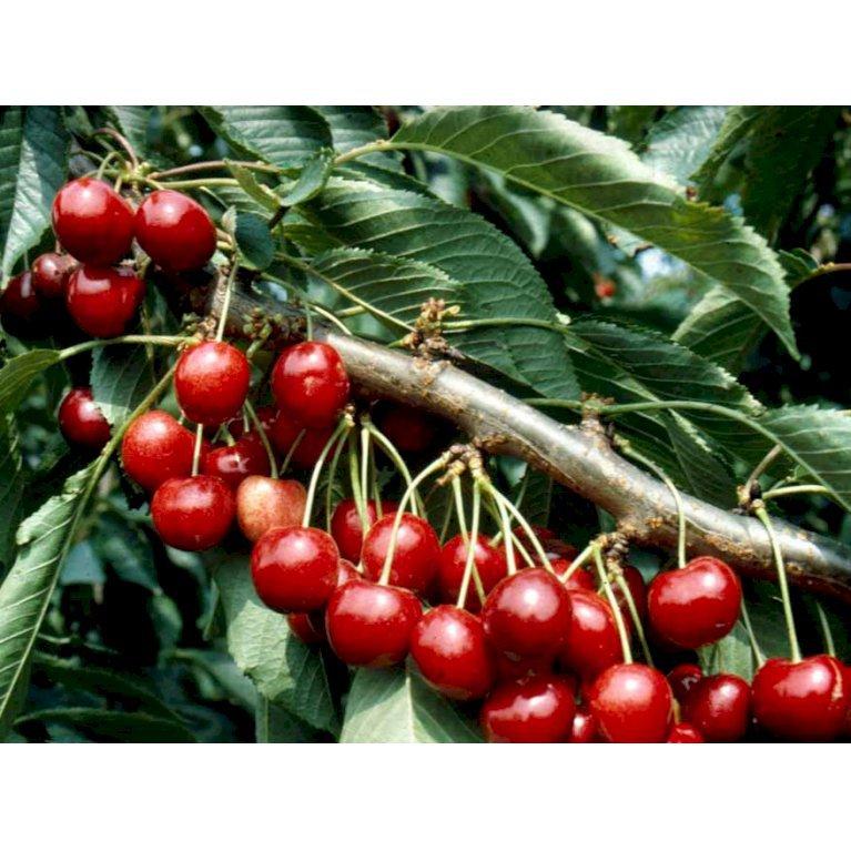 Kirsebær 'Lapins'