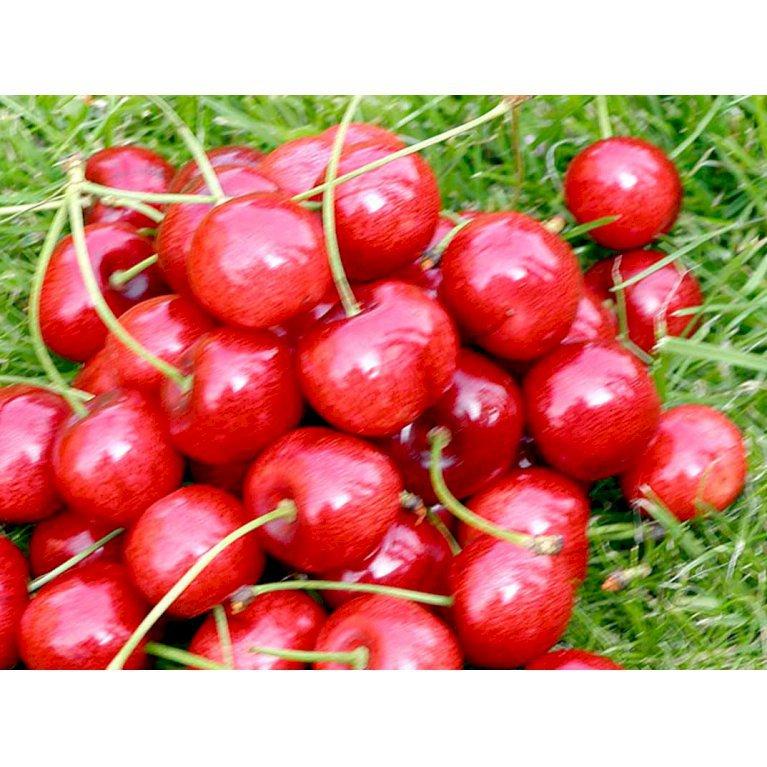 Sød Kirsebær 'Hedelfinger'
