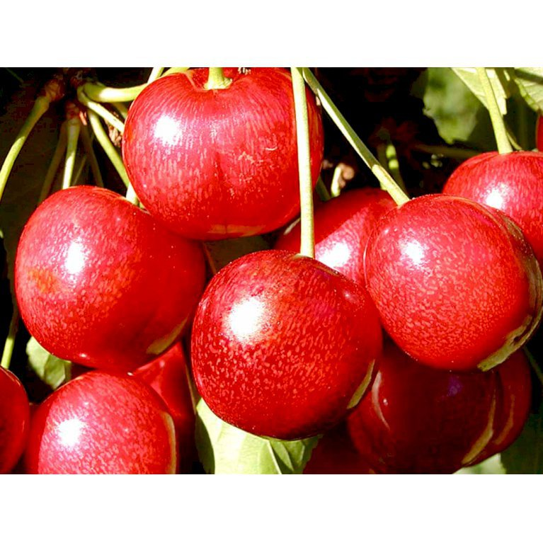 Sød Kirsebær 'Sunburst'