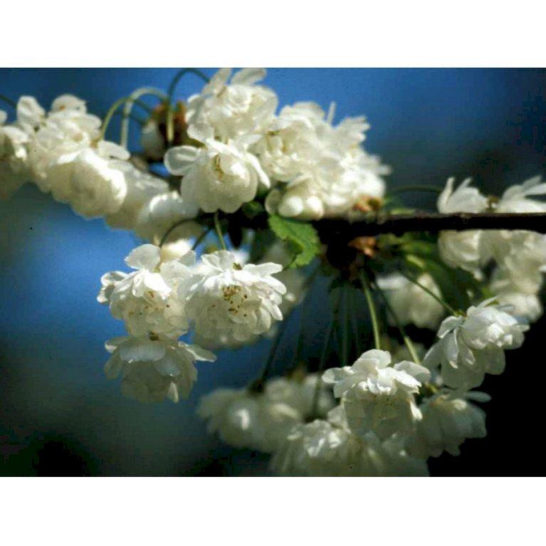 Fuglekirsebær 'Plena'