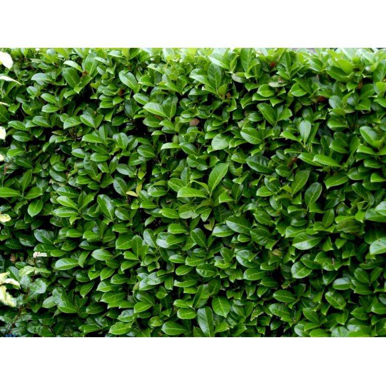 Hæk-Kirsebærlaurbær 'Rotundifolia'
