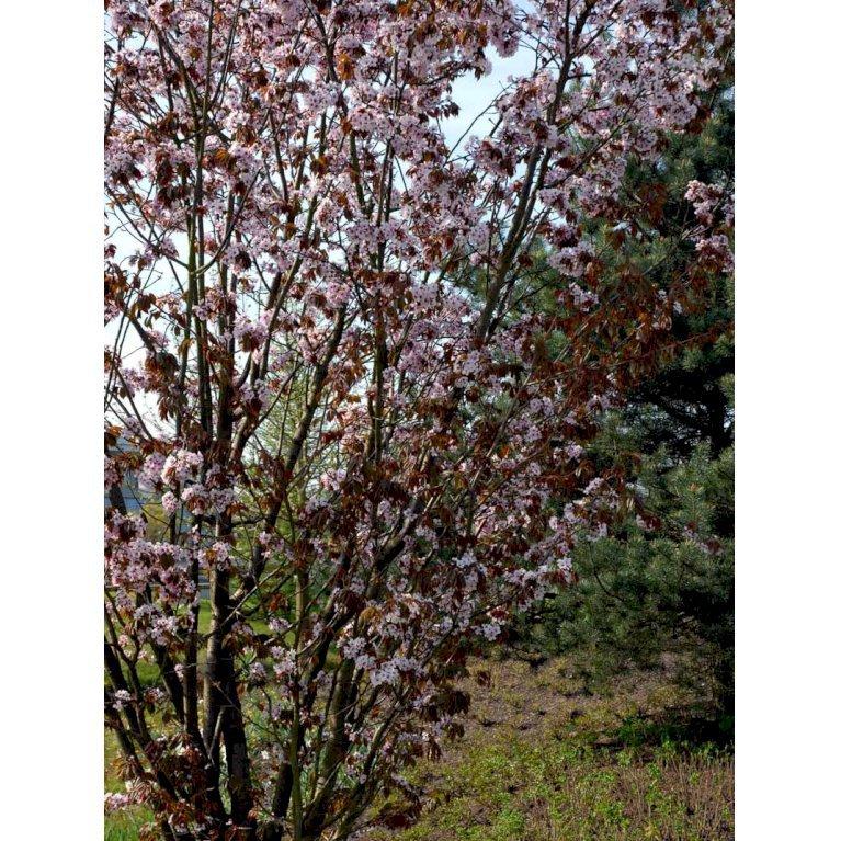 Sakhalinkirsebær