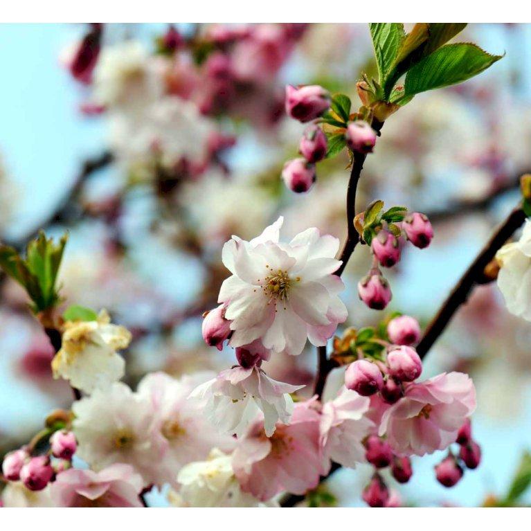 Sakhalin-Kirsebær