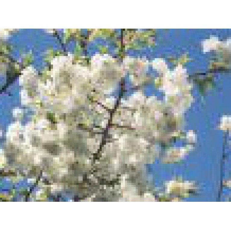Stor hvid japansk kirsebær