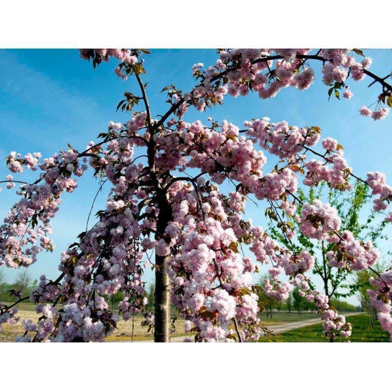 Japansk Hængekirsebær