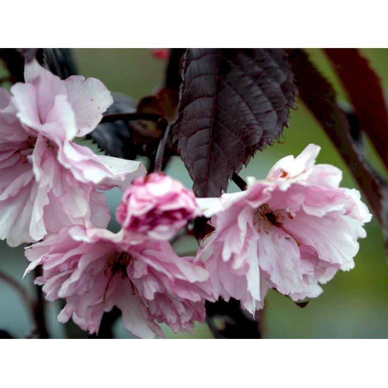 Japansk Kirsebær 'Royal Burgundy'