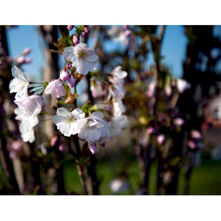 Japansk Søjlekirsebær