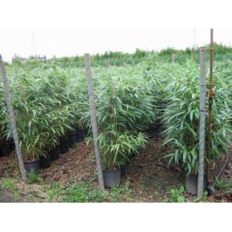Japansk Bambus