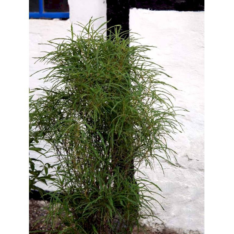 Smalbladet tørstetræ