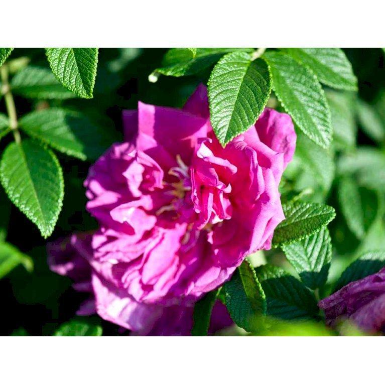 Rose 'Roseraie de L'hay'