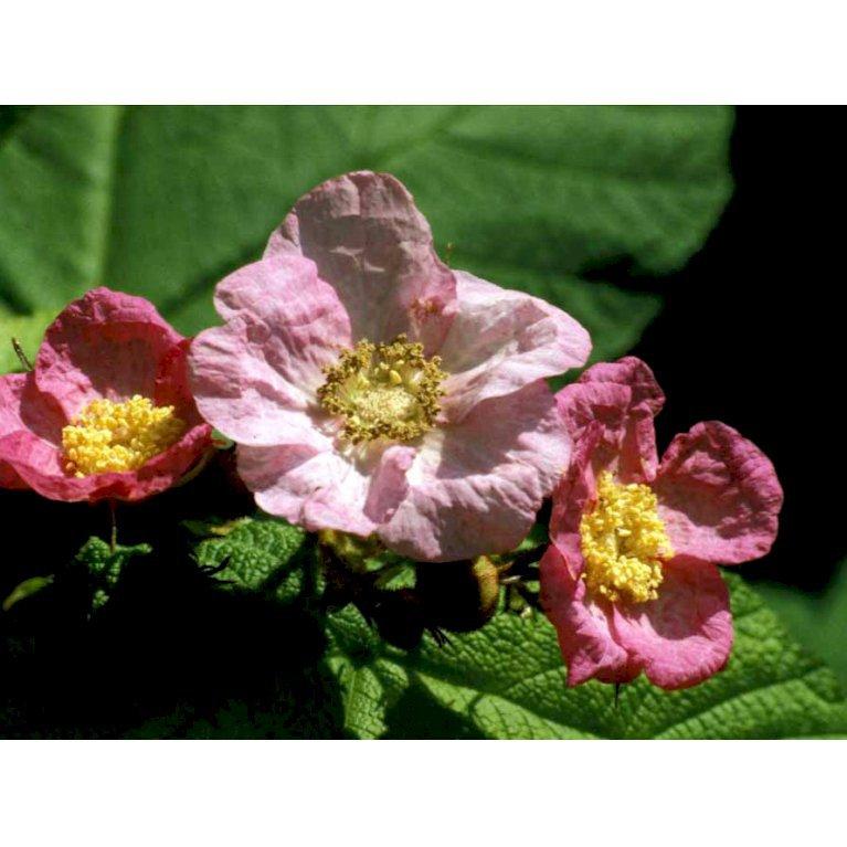 Rosenbrombær
