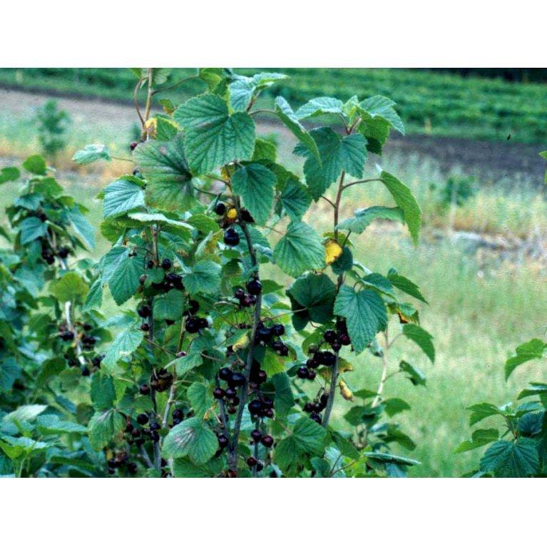 Solbær 'Titania'