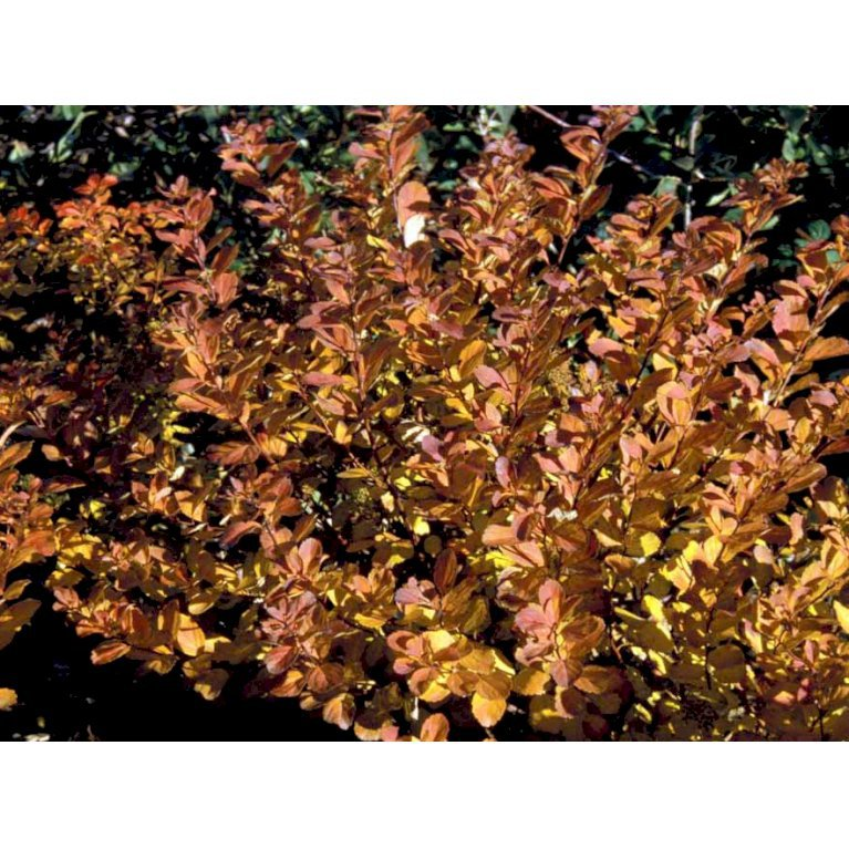 Spiræa betulifolia