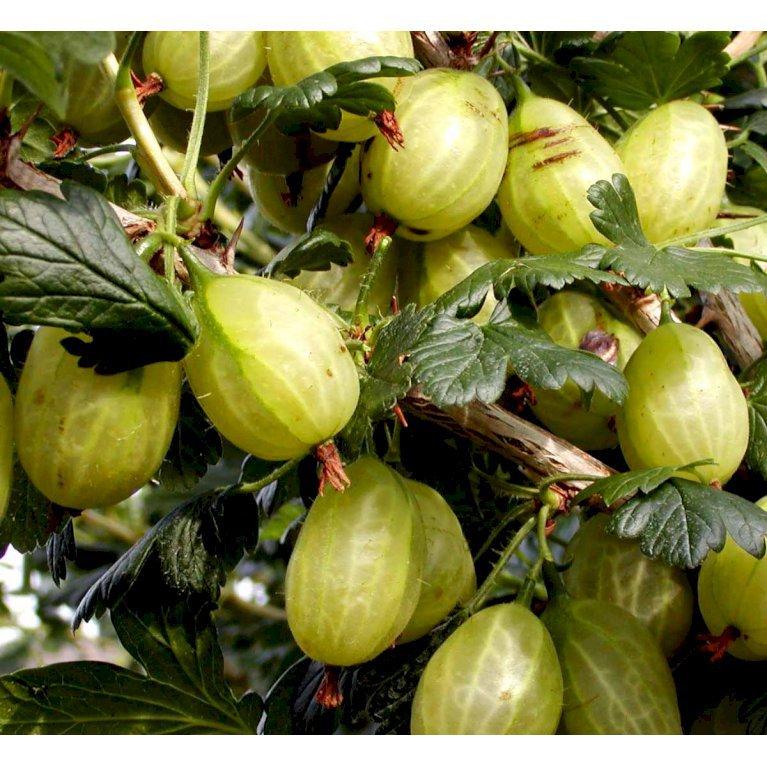 Stikkelsbær 'Invicta'
