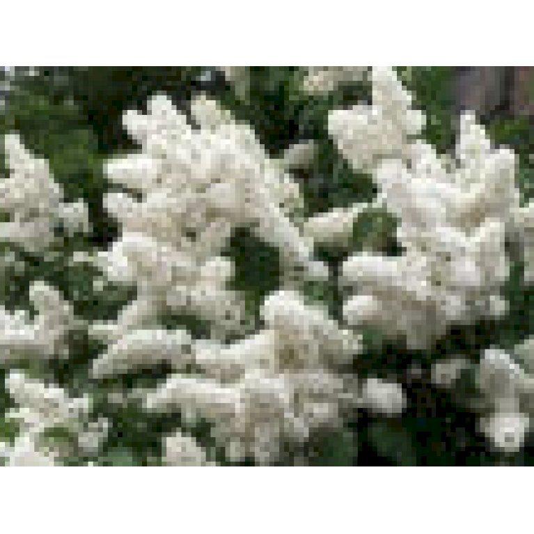 Almindelig Syren Hvid