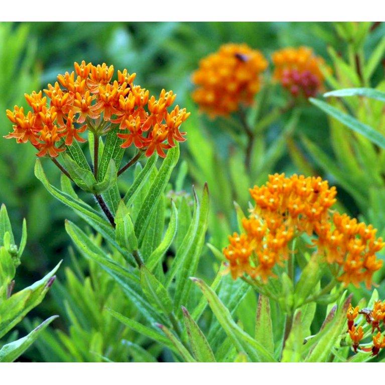 Orange-Silkeplante