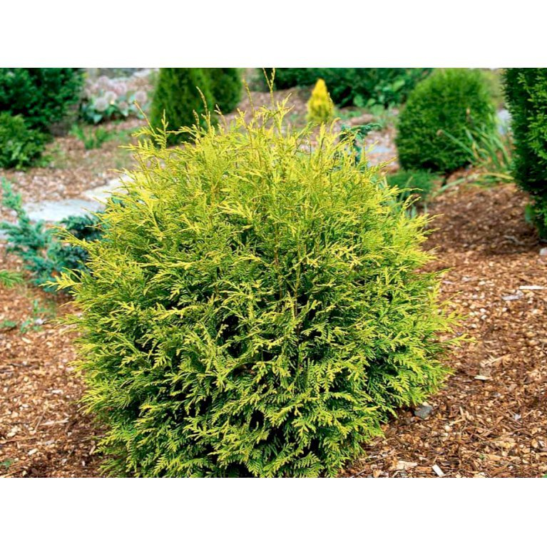 Thuja 'Golden Globe'