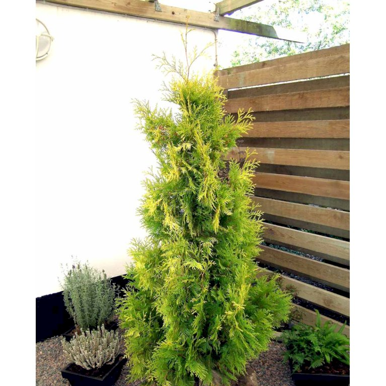 Thuja 'Yellow Ribbon'