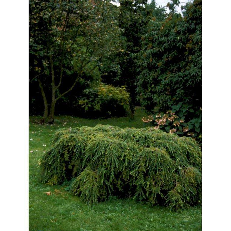 Hemlockgran