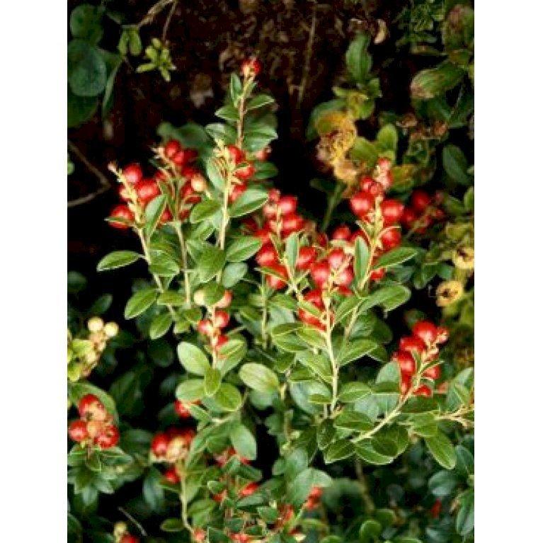 Tyttebær 'Koralle'