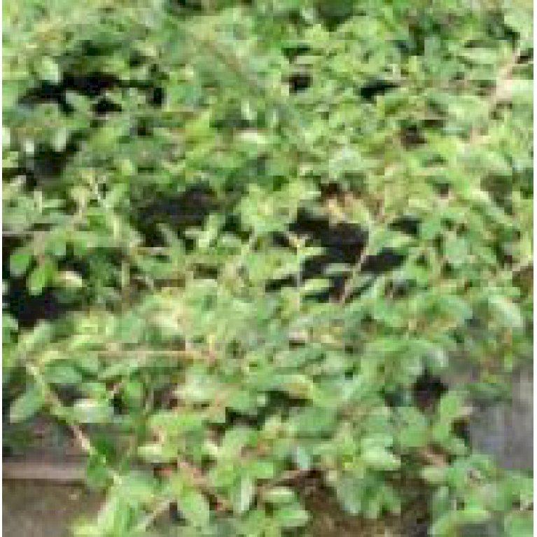 Dv rgmispel 39 queen 39 - Cotoneaster dammeri green carpet ...