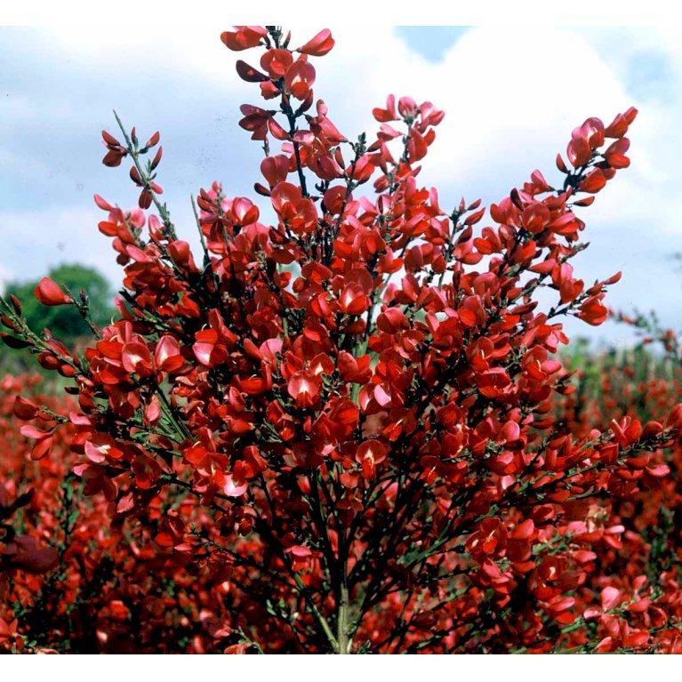 Rød Vårgyvel