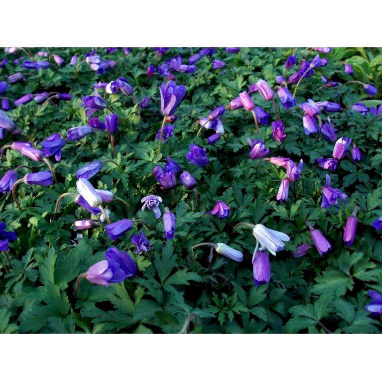 Balkan-Anemone 'Blue Shades'