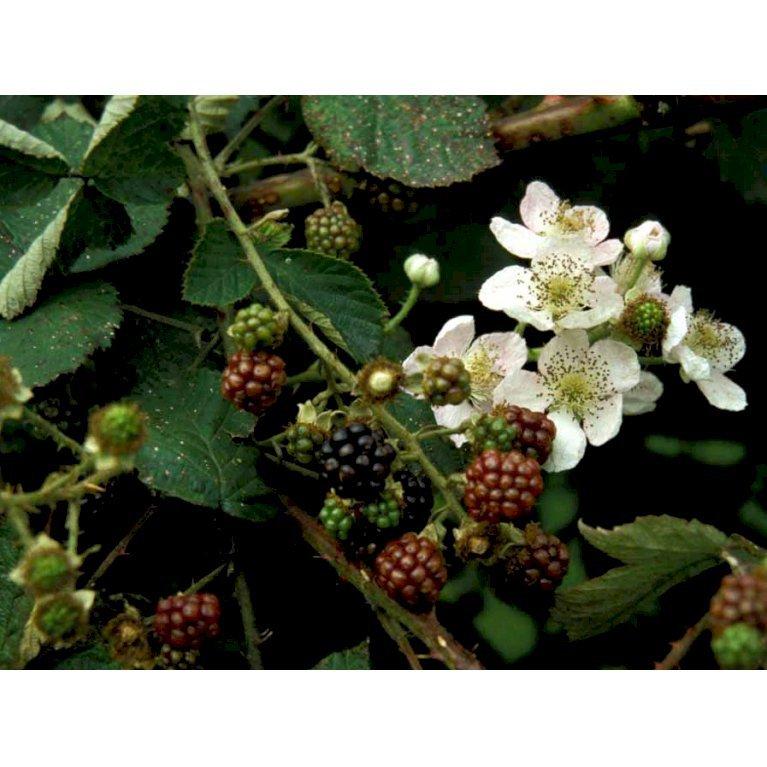 Brombær 'Black Satin'