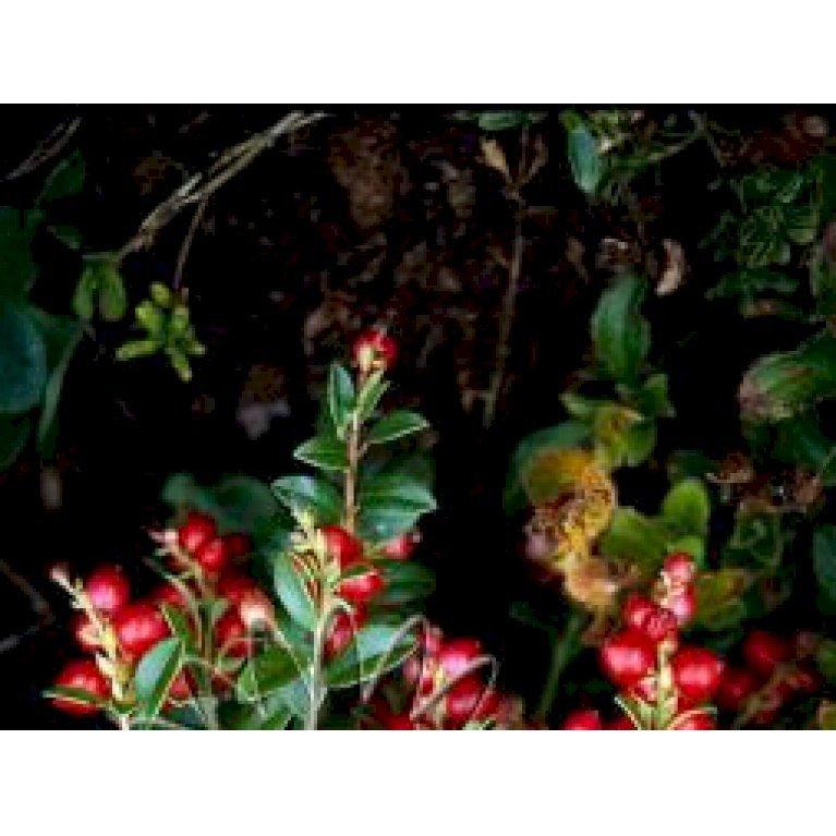 Tyttebær 'Red Pearl'