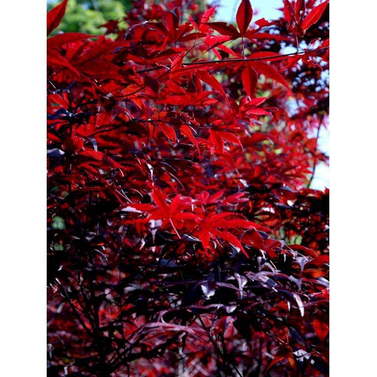 Japansk Ahorn 'Bloodgood'