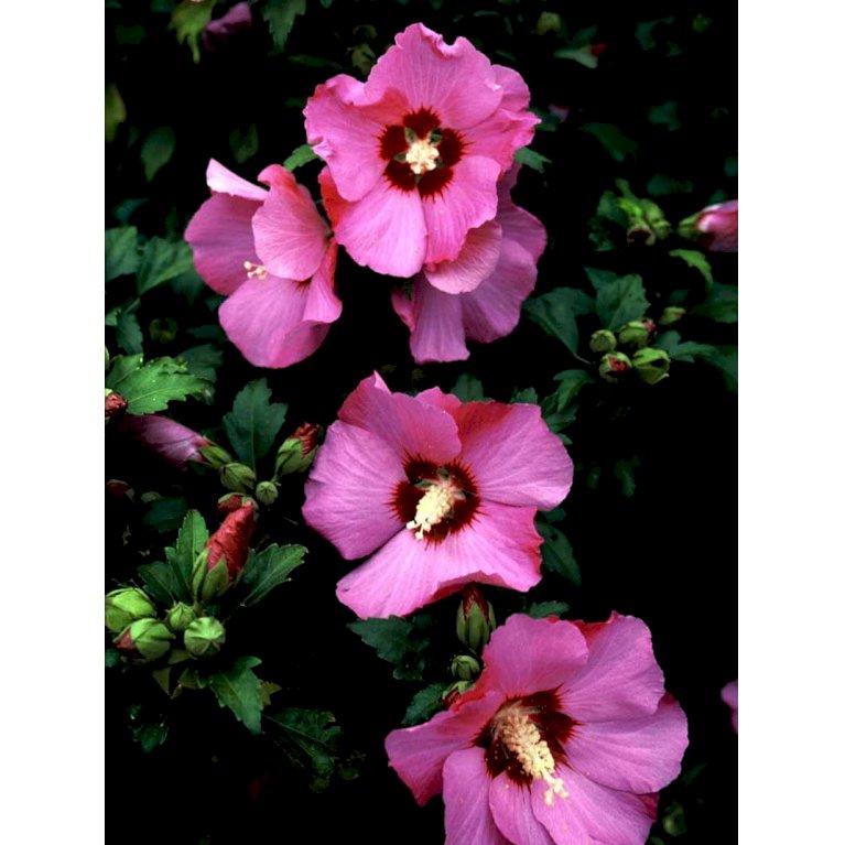 Syrisk Rose 'Pink Giant'
