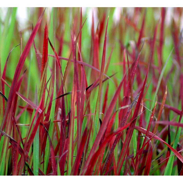 Japansk Blodgræs