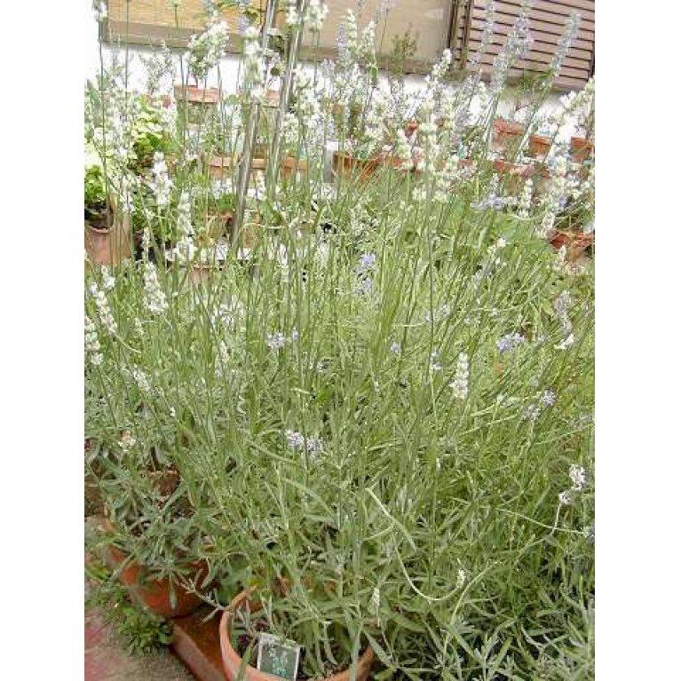 Lavendel 'Edelweiss'