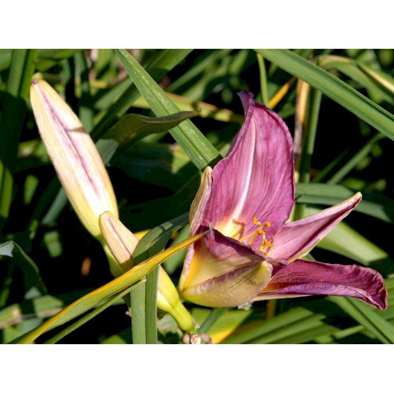 Daglilje 'Lavender Deal'