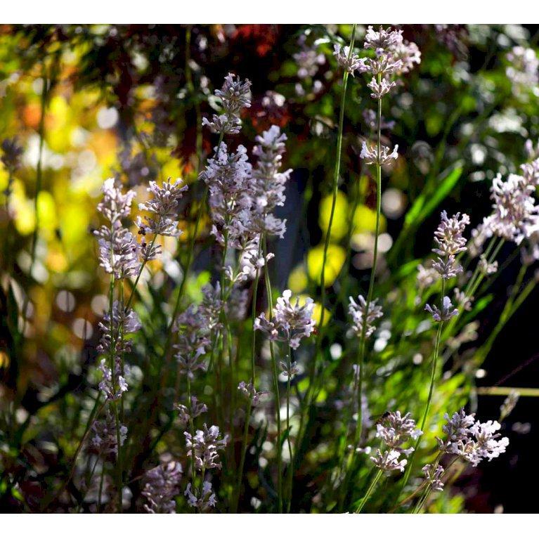 Lavendel 'Rosea'