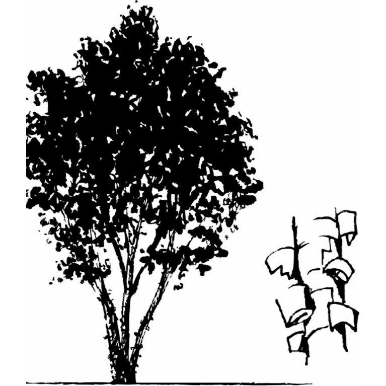Papirbarkløn