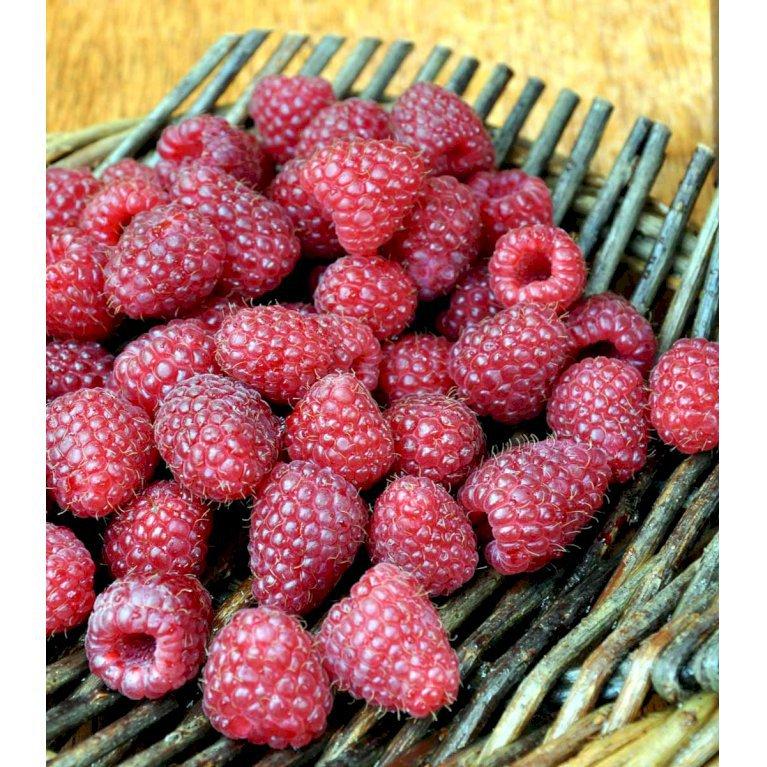 Efterårs Hindbær 'Polka'