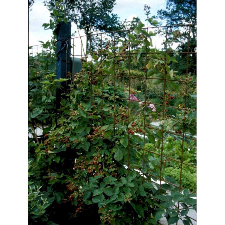 Vild brombær