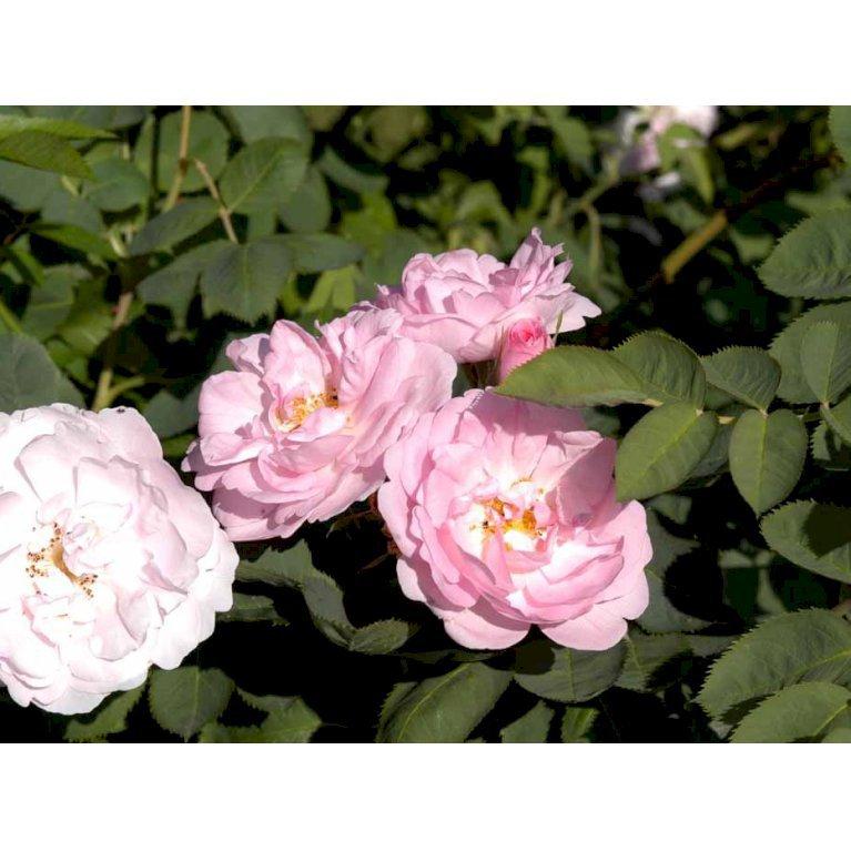 Historisk Rose 'Celestial'