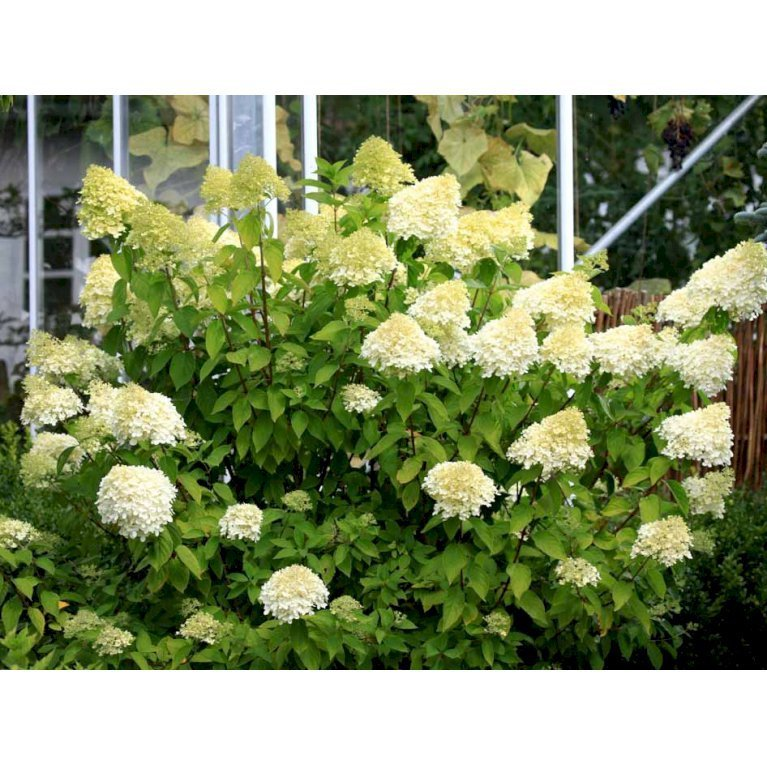 Havehortensia 'Limelight'