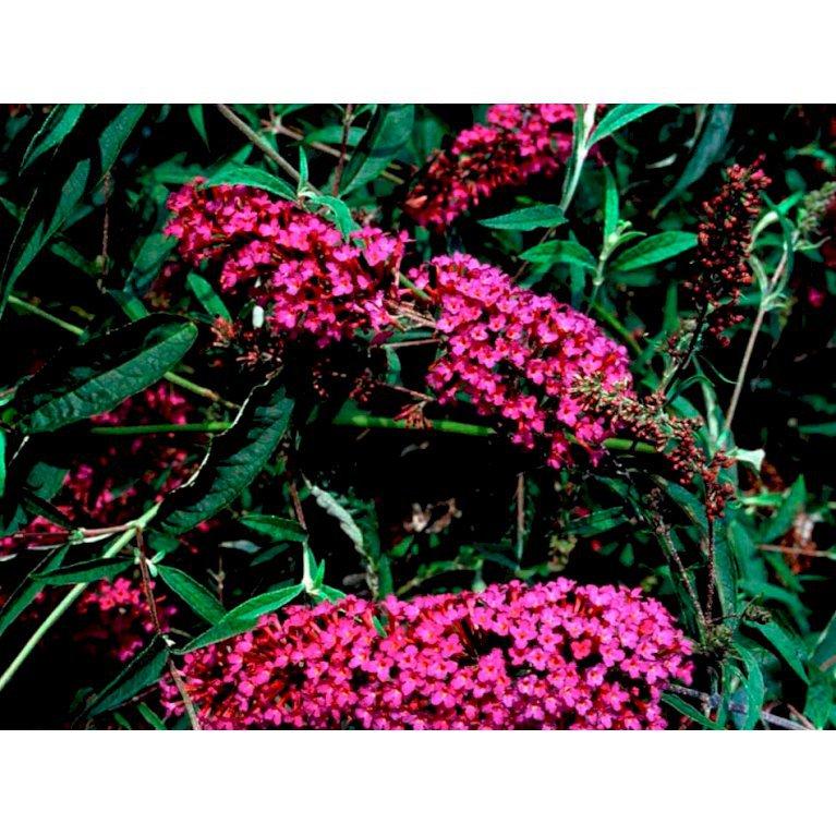 Sommerfuglebusk 'Nanho Purple'