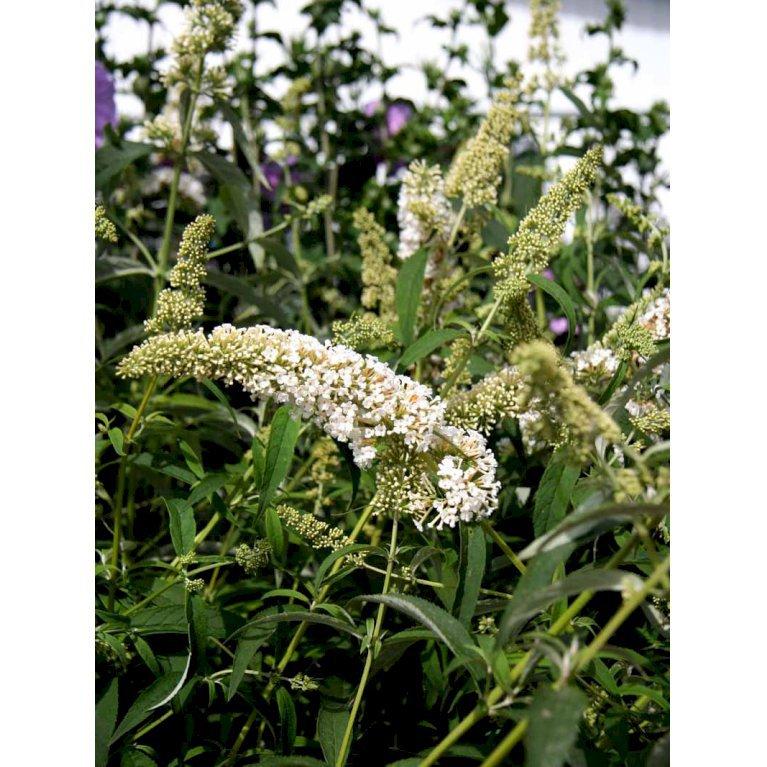 Sommerfuglebusk 'White Profusion'