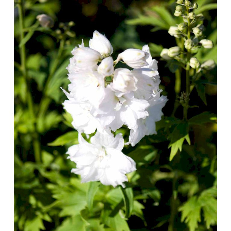 Ridderspore magic fountain - Hvid -