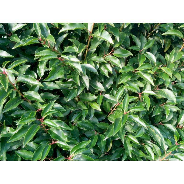 Portugisisk laurbærkirsebær