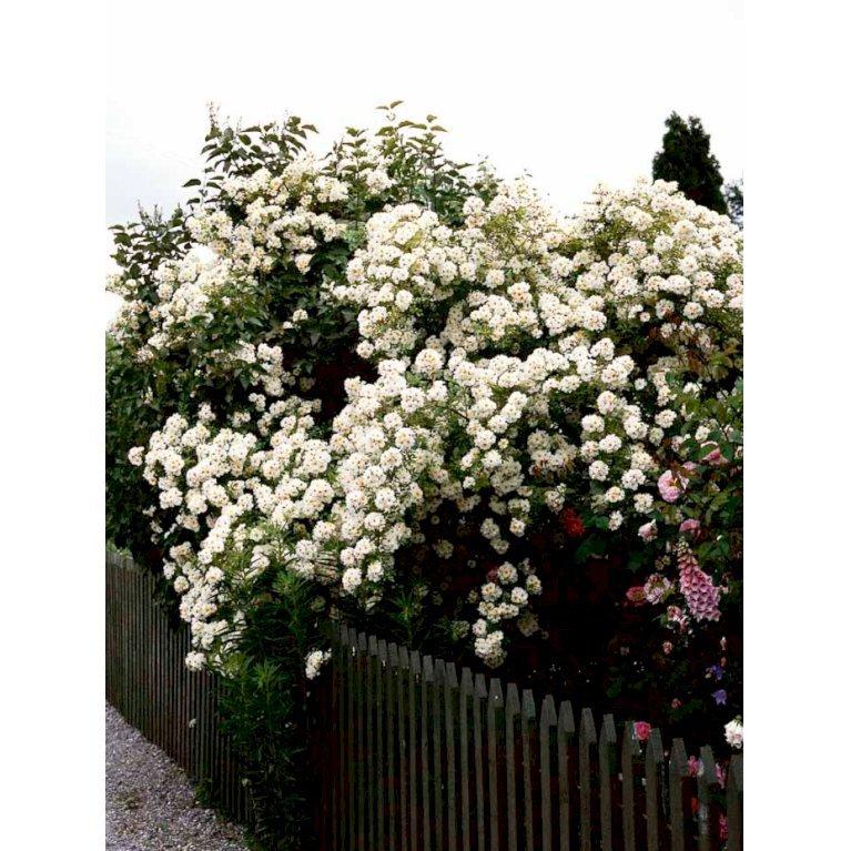 Buskrose / Rosa helenae